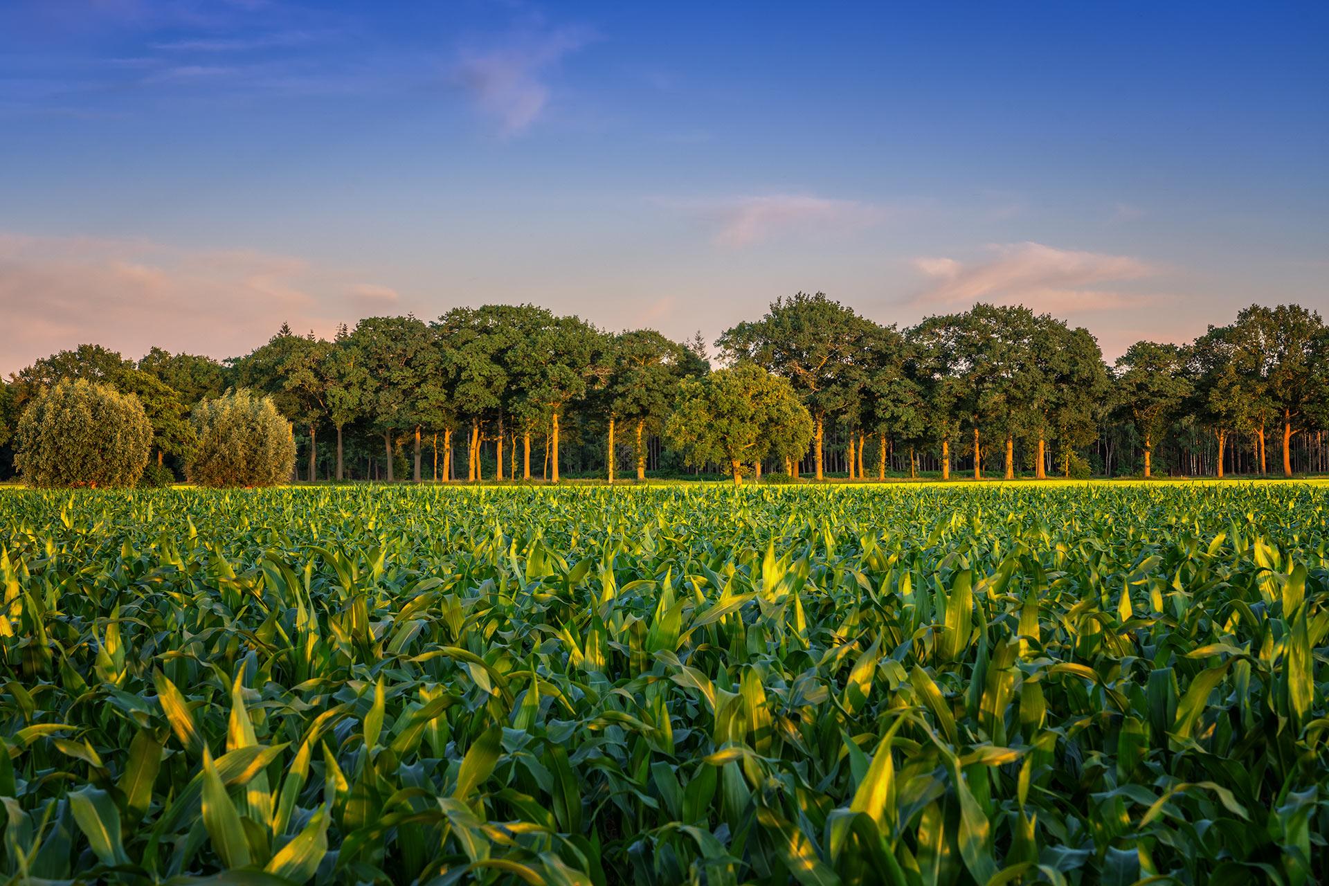 Maisveld en bomenrij